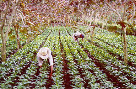 Guatemala Farming